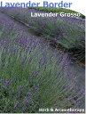 香りのボーダー♪ グロッソラヴェンダー 12ポット ラベンダーグロッソ ラヴァンジングロッソ 9vp×12ポット ハーブ苗セット Grosso Lavender ラベンダーヘッジ ハーブ苗専門店