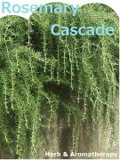 ローズマリープロストラータス:匍匐性薄紫色(プロストラータスローズマリー・クリーピングローズマリー・マンネンロウ・シーデュー)ハーブ苗9vpProstratusRosemary