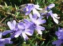 芝桜苗オーキントンブルー24個セット・1平米分