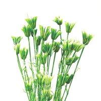 ニゲラオリエンタリス 白グリーン ハーバリウム 花材