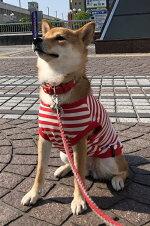 中型犬柴犬ビーグル服ボーダー蚊よけ防蚊加工レッド