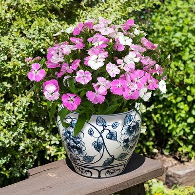【日比谷花壇】 敬老の日 プレゼント 花 なでしこ 「ブラッシュピンク」 5号 ギフト