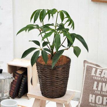 【日比谷花壇】観葉植物「ツピタンサス・バスケット」