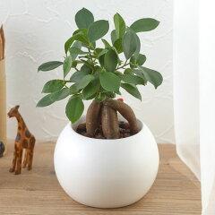 【日比谷花壇】【ネット限定】お手入れかんたん観葉植物「人参ガジュマル(ホワイト)」