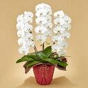 【日比谷花壇】 「胡蝶蘭(ホワイト)3本立ち」 お祝い 開店祝い 鉢花