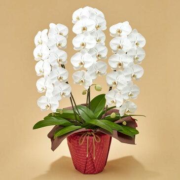 【日比谷花壇】「胡蝶蘭(ホワイト)3本立ち」 お祝い 開店祝い 鉢花
