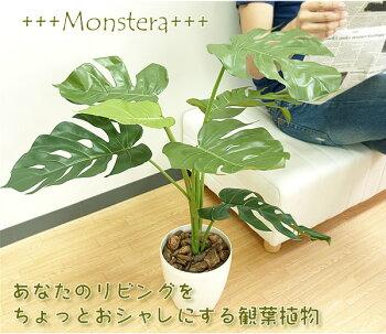 光触媒光の楽園モンステラ75多肉植物3個セット【グリーンテーブル観葉植物】