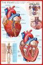 心臓の仕組み ポスター/フレーム付