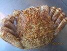 冷凍毛ガニ-1kg前後