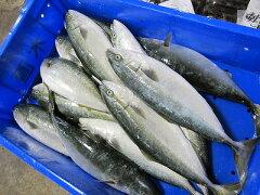 ■寒ブリの幼魚です!お刺身なら全く飽きない魚です。天然フクラゲ ふくらぎぶり幼魚1本1kg前...