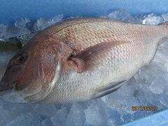縁起がよくておさしみ料理などに欠かせないお魚です!【同梱発送】15kg以内が1個口の送料になり...