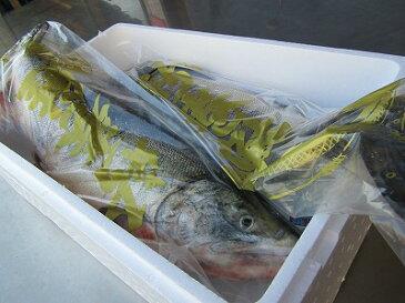 サケ 秋鮭 【生鮭オス 1本6kg前後(大)】さけ 北海道産 「送料無料」