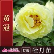 牡丹「黄冠」牡丹/ボタン/ぼたん根巻苗【02P03Sep16】