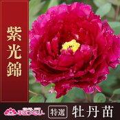 牡丹「紫光錦」牡丹/ボタン/ぼたん根巻苗【02P03Sep16】