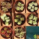 色とりどりの肉厚の葉が魅力!多肉の寄せ植えは最近のトレンドミニ多肉植物C【02P05Dec15】「ブ...