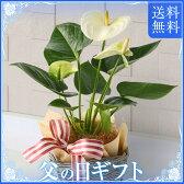 【送料無料】アンスリューム「ホワイト」 父の日ギフト・室内で育てる観葉植物ギフト 【02P03Sep16】