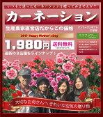 【カーネーション】 お母さんもお部屋も喜ぶ!いつもと違ったカーネーション!5号鉢 選べる品種♪ 鉢カバー付き 鉢花 鉢植え レッド ピンク パープル オレンジ 覆輪 等