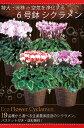 【シクラメン】生産農家直送の空気を浄化するシクラメン 6号鉢 選べる19品種 バスケット付き
