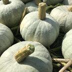 【10月頃から発送】無農薬栽培北海道産雪化粧かぼちゃ10kgホクホクした優しい味【送料無料】