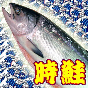鮭児に匹敵します! 時鮭 3.3kg位