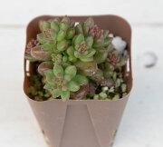 多肉植物 ホワイトストーンクロプ