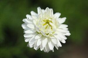 八重咲き ローマン カモミール