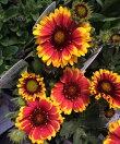 【当店農場生産】ガイラルディアアリゾナサン9センチポット苗寒さに強く毎年咲きます♪
