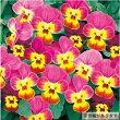 【当店農場生産】ビオラももからいおん9センチポット苗花壇や寄せ植えに♪