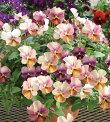 【当店農場生産】ビオラなごみももかしんしん9センチポット苗花壇や寄せ植えに♪