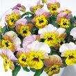 【当店農場生産】ビオラなごみももかとんとん9センチポット苗花壇や寄せ植えに♪