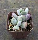 【当店農場生産】多肉植物 コチレドン ふっくら娘(福だるま) 7.5センチポット苗