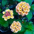 【当店農場生産】ランタナやまぶき9センチポット苗夏に強いお花です☆