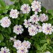 ヒメイワダレソウピンク(白)10センチポット苗耐寒性宿根草でかなり強い!グランドカバーに!