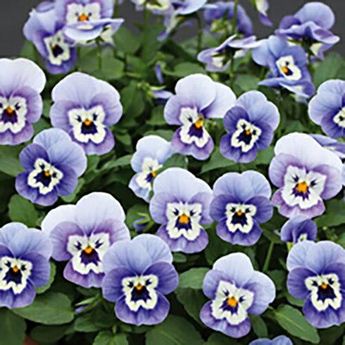 【当店農場生産】ビオラ ももか うみ(花つき苗) 9センチポット苗 花壇や寄せ植えに♪