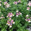 【当店農場生産】ネメシアセブンスヘブンローズ(ピンク)バイカラーコンパクト9センチポット苗寄せ植えやハンキングにも最適♪
