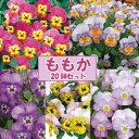 【当店農場生産】1ポット79円!人気品種◎ビオラももか5種類20鉢セット