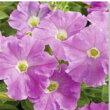 【当店農場生産】ペチュニアピコベラライトラベンダー(花なし苗)9センチポット苗
