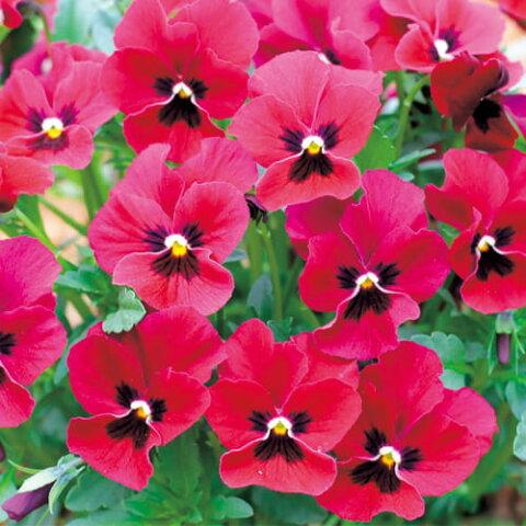 【当店農場生産】ビオラ ももか ばらいろ(花なし苗) 9センチポット苗 花壇や寄せ植えに♪