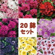【20鉢セット】八重咲きペチュニア8種類20鉢セット(花なし苗)