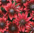 【当店農場生産】ルドベキアチェリーブランデー9センチポット苗赤茶色の花を咲かせ珍しい☆耐寒性宿根草