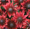 【当店農場生産】ルドベキア チェリーブランディ 9センチポット苗 赤茶色の花を咲かせ珍しい...