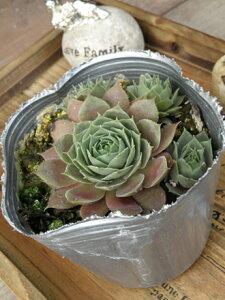 【当店農場生産】多肉植物 センペルビウム バラ咲き赤葉系 7.5センチポット苗