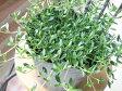 【当店農場生産】レイタータイム 9センチポット苗 繁殖力旺盛なクリーピングタイム