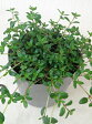 【当店農場生産】ロンギガウリスタイム 9センチポット苗 繁殖力旺盛なクリーピングタイム