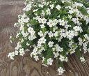 【当店農場生産】バコパコピア ガリバーホワイト 9センチポット苗 宿根草垂れるように咲く♪