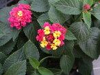 【当店農場生産】ランタナ七変化9センチポット苗夏に強いお花です☆