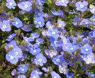 べロニカオックスフォード9センチポット苗宿根草たくさんの花が咲きます♪