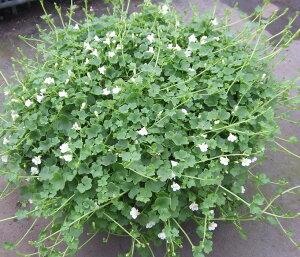 【当店農場生産】シンバラリア 9センチポット 暑さ寒さに強く長く咲く♪