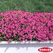 【当店農場生産】シレネ・セリナ9センチポット苗ピンク色のかわいい花が咲きます☆