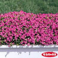 【当店農場生産】シレネ・セリナ 9センチポット苗 ピンク色のかわいい花が咲きます☆